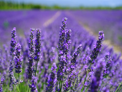 lavender plants blooming